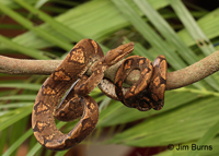 Annulated Tree Boa