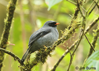 Black-faced Solitaire