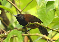 Black-throated Wren