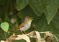 Orange-billed Nightingale