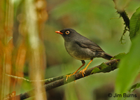 Slaty-backed Nightingale