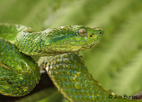 Striped Pit Viper