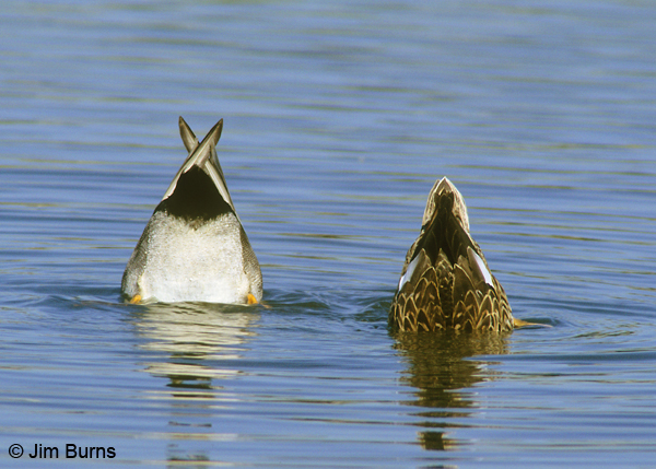 Gadwall pair butts up
