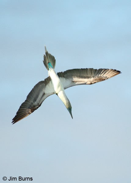 Blue-footed Booby sighting underwater prey
