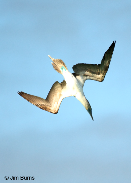 Blue-footed Booby going into plunge dive