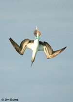 Blue-footed Booby folding up for acceleration