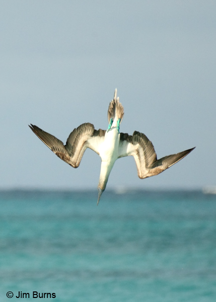 Blue-footed Booby streamlining for entry