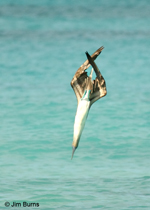 Blue-footed Booby torpedoing into water