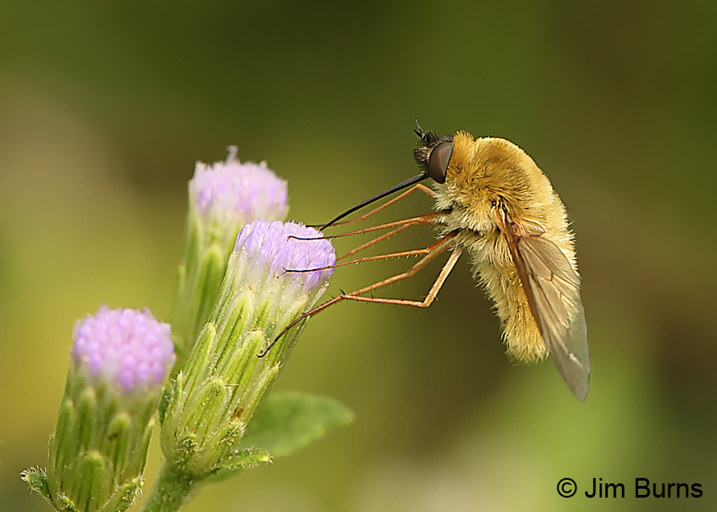 Bee Fly on Crucita