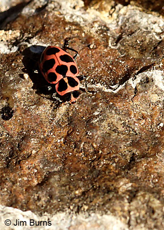 Cream-spotted Lady Beetle