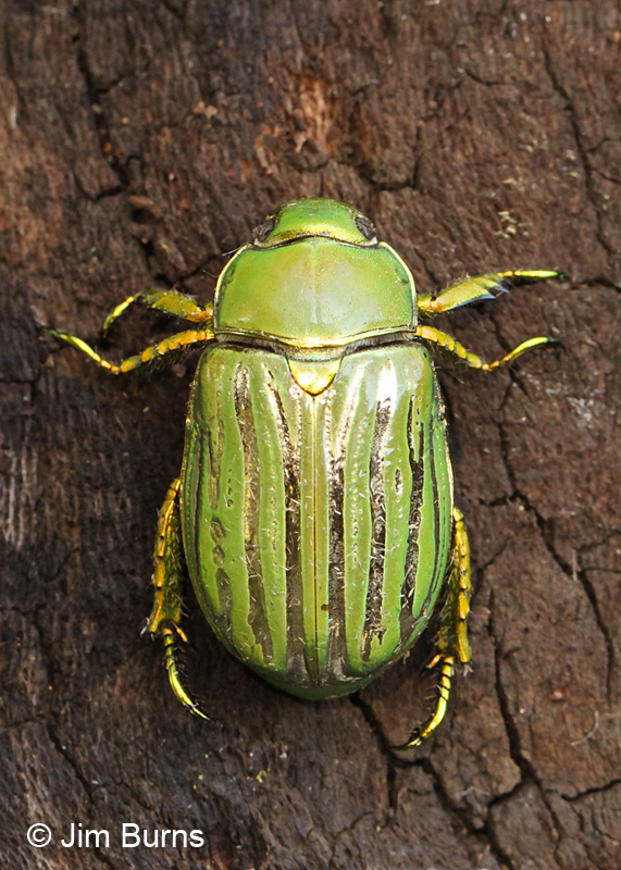 Glorious Scarab Beatle