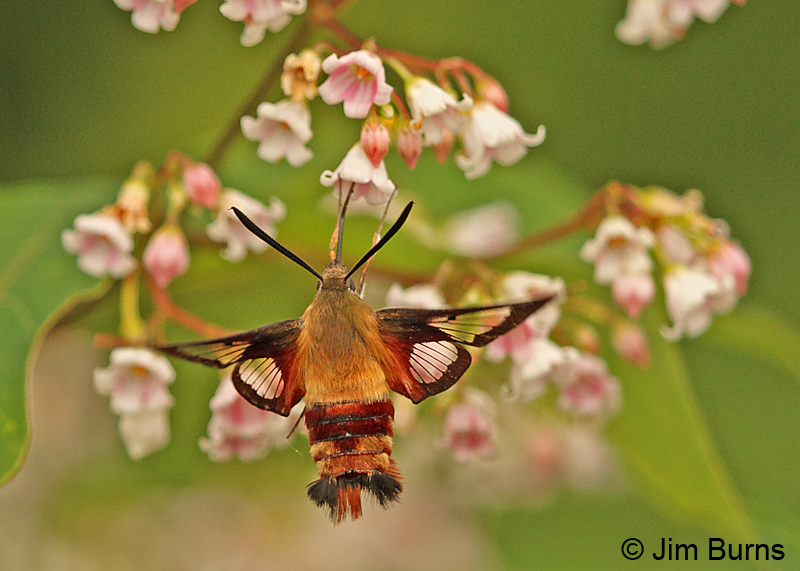 Hummingbird Clearwing Moth, New Hampshire