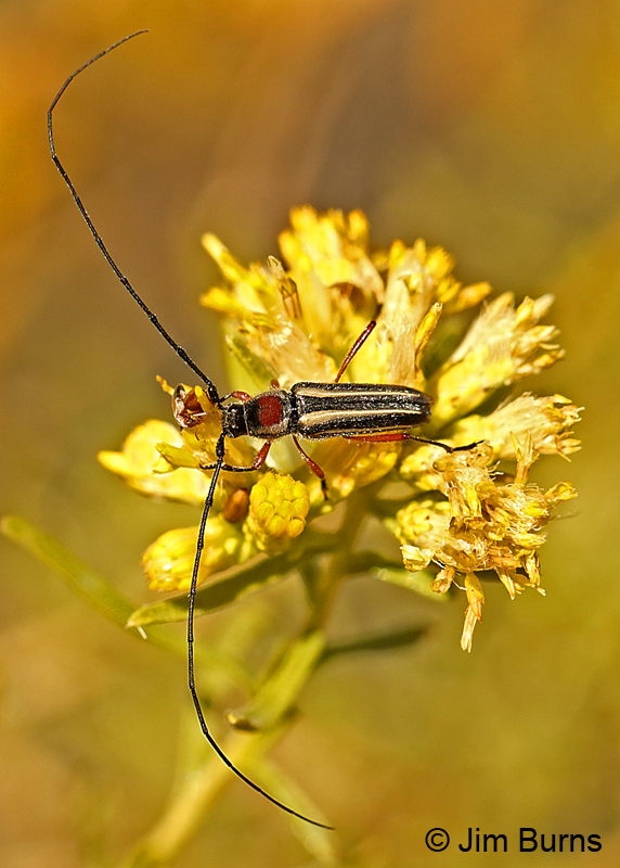 Long-horned Beetle (Sphaenothecus bilineatus), Tonto National Forest, Arizona