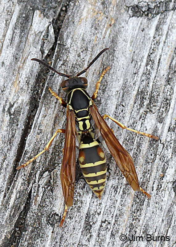 Northern Paper Wasp