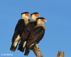 Three Crested Caracaras