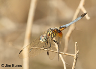 Blue Dasher (eastern)