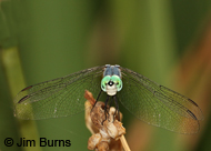 Blue Dasher (western)
