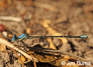 Blue-fronted Dancer