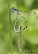 Blue-winged Dancer