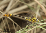 Flag-tailed Spinyleg