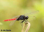 Flame-tailed Skimmer