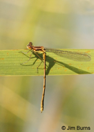 Northern Spreadwing