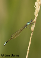 Plains Forktail