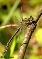Septima's Clubtail