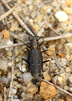 Backroad Tiger Beetle