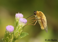 Bee Fly (Bombylius major), Bentsen-Rio Grande SP, Texas