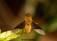 Bee Fly (Chrysanthrax Cypris), Blackwater River, Florida--9455