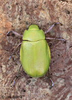 Beyer's Scarab Beetle