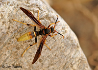 Black-backed Paper Wasp (Polistes comanchus), Madera Canyon, Arizona