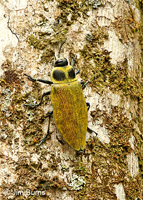 Click Beetle, Tapanti National Park, Costa Rica