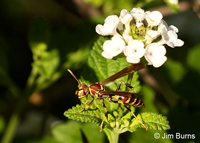 Common Paper Wasp (Polistes exclamans) Texas