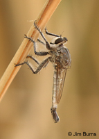 Desert Robber Fly (Efferia tricella) male, Papago Park, Arizona