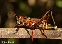 Eastern Lubber Grasshopper (Regalea microptera), Fakahatchee Strand Preserve State Park, Florida