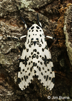 Eyed Tiger Moth