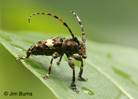 Flat-faced Long-horned Beetle (Acanthoderes quadrigibba), Stephen's Creek, North Carolina