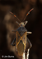 Giant Mesquite Bug female, Buenos Aires National Wildlife Refuge, Arizona