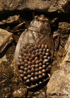 Giant Water Bug male with eggs, Tonto National Forest, Arizona
