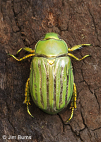 Glorious Scarab Beetle
