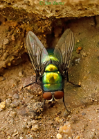 Green Bottle Fly (Lucilia sericata), Harshaw Canyon, Arizona--4551