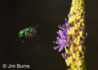 Green Orchid Bee (Euglossa dilemma) at Pickerelweed, Corkscrew Swamp, Florida