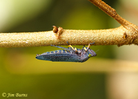 Green-eyed Leafhopper, Savegre, Costa Rica