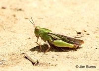 Green-striped Grasshopper (Chortophaga viridifasciata) female, Uwharrie River, North Carolina