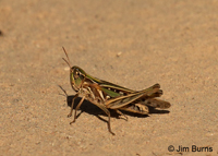 Handsome Locust (Syrbula admirabilis) female, Hidalgo Co., Texas