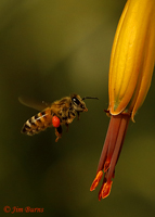 Honey Bee worker (Apis mellifera), Boyce Thompson Arboretum, Arizona--102