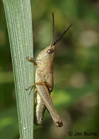 Marsh Meadow Grasshopper