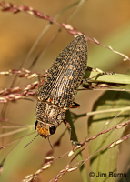 Metallic Woodborer
